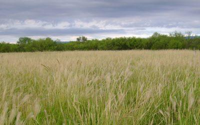 """Técnicos del INTA crearon una cosechadora de semillas de """"pasto plumerito o raíz"""""""
