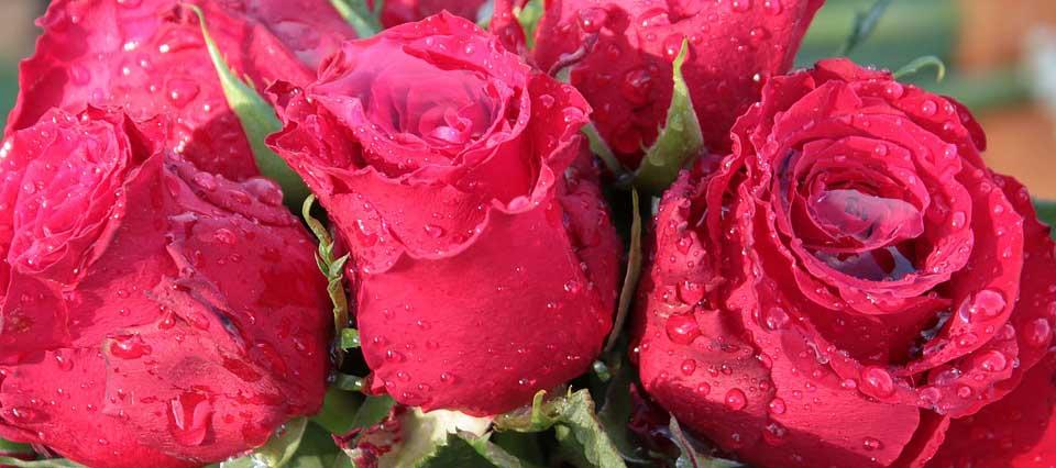 rosas 960
