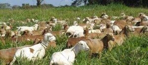 cabras pasto 960