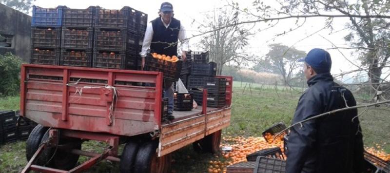 Decomisan más de 6 toneladas de naranjas y mandarinas en Tucumán