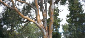 eucaliptus