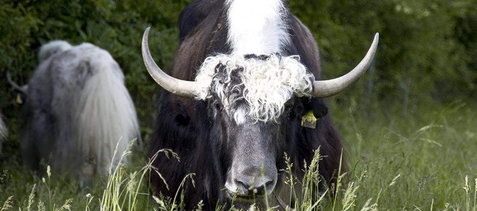 cuernos vaca 960