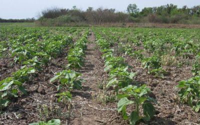 girasol vegetativo 960