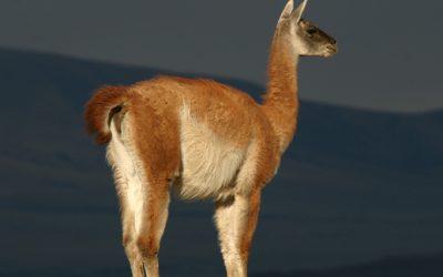 La Pampa introducirá guanacos en el Parque Luro