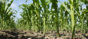 maíz yara 960