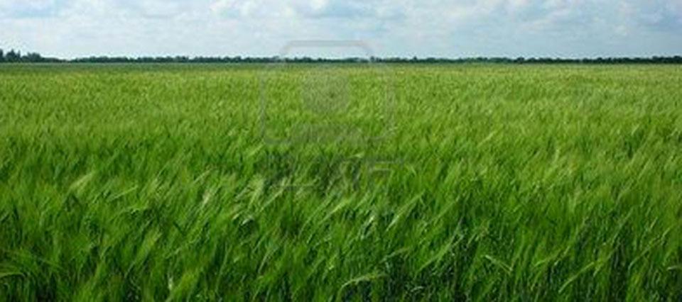 trigo verde 960