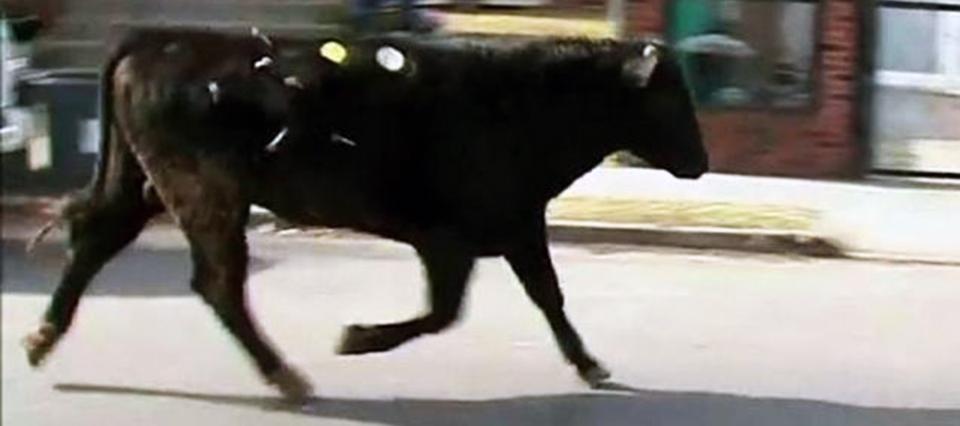vaca escapa