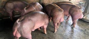 Cerdos musculosos
