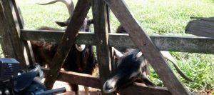 cabras brucelosis