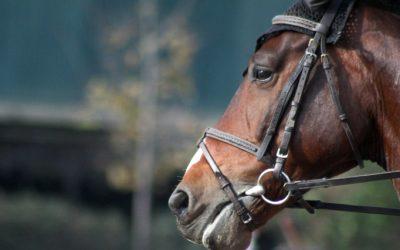 equino caballo