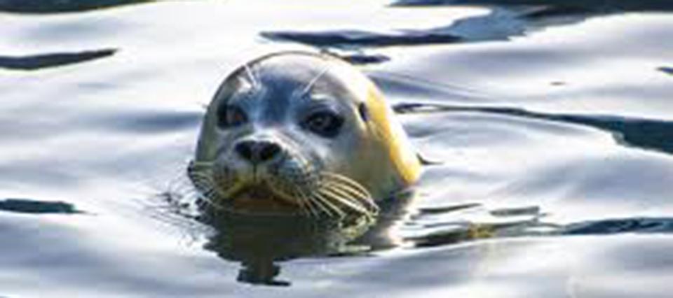 Las focas dejarán de ser animales anfibios y se moverán sólo en el agua