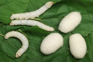 gusanos-de-seda-2