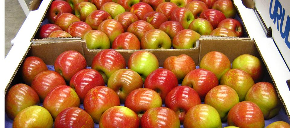 """Cayeron 58% las exportaciones de manzanas a Brasil: """"No somos competitivos"""""""