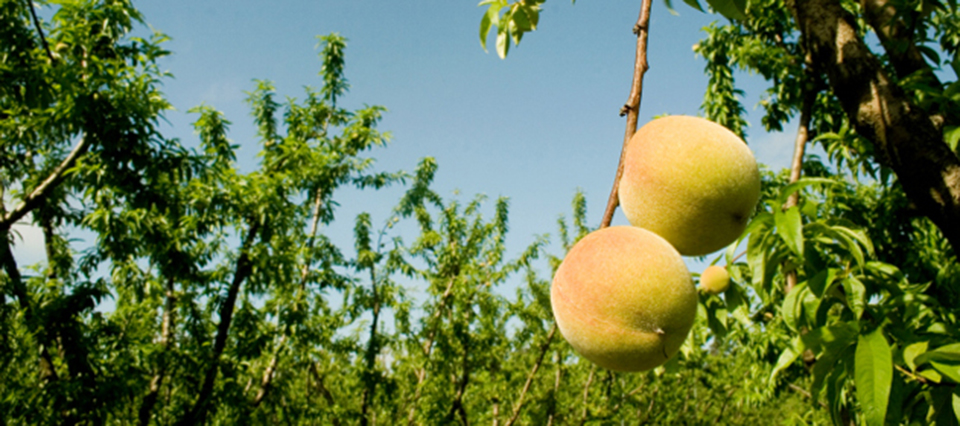 Realizarán una jornada de capacitación para productores y comercializadores de prunus