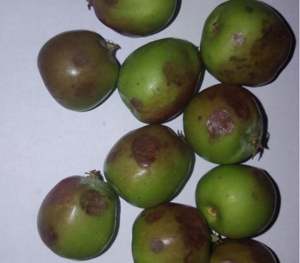 manzanas granizo daños