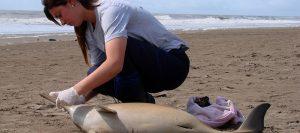Télam 13/11/2017 Buenos Aires: Cuatro delfines de la especie conocida como franciscana, que está en peligro de extinción, fueron hallados muertos en el Partido de la Costa, informó hoy la Fundación Mundo Marino. Foto: Gentileza Mundo Marino/EF