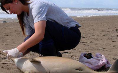 Encontraron cuatro delfines muertos en la costa y uno tenía plástico en el estómago