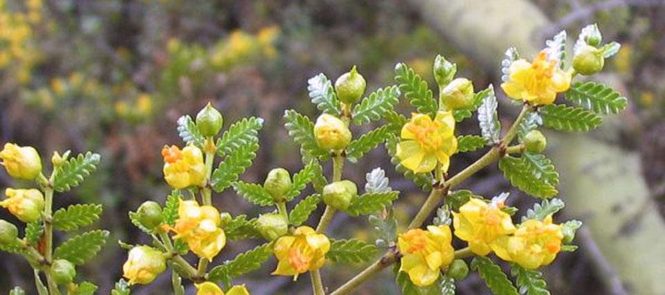 Logran regenerar piel a partir de plantas de jarilla y café