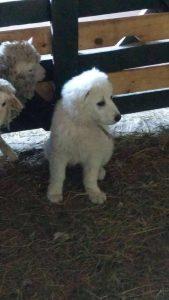 perros ovejas