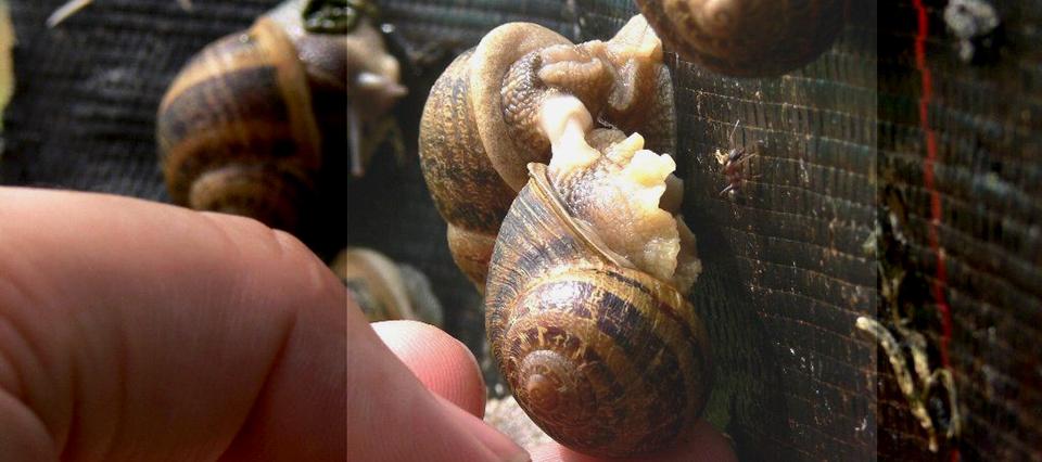 Todo sobre la cría de caracoles, un nicho para exportar al mercado europeo