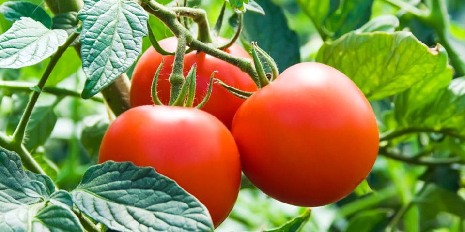 cuidados-de-cultivos-de-tomate-encabezado