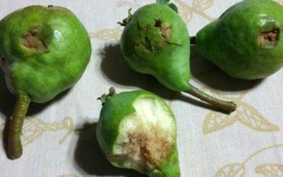 fruta granizo