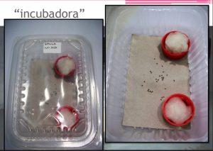 incubacion gusanos