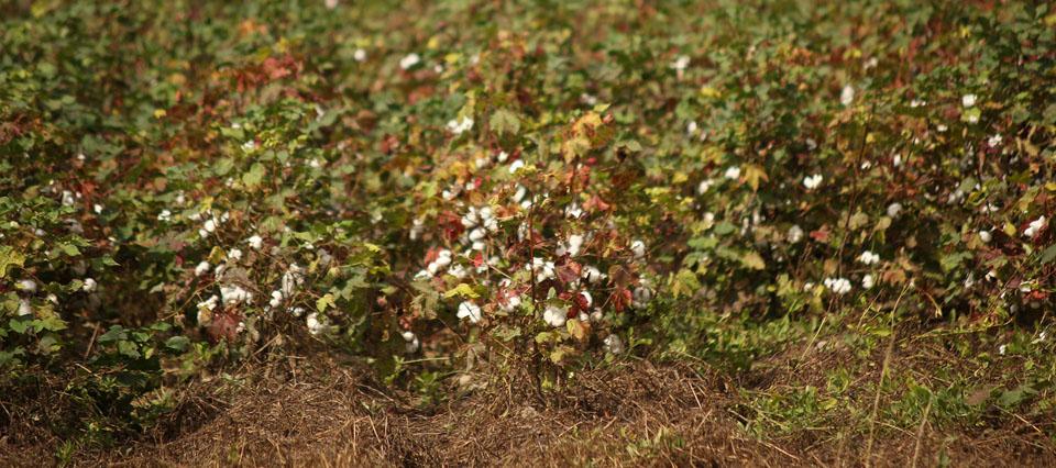 Chaco extendió el plazo para la siembra de algodón tras el reclamo de productores