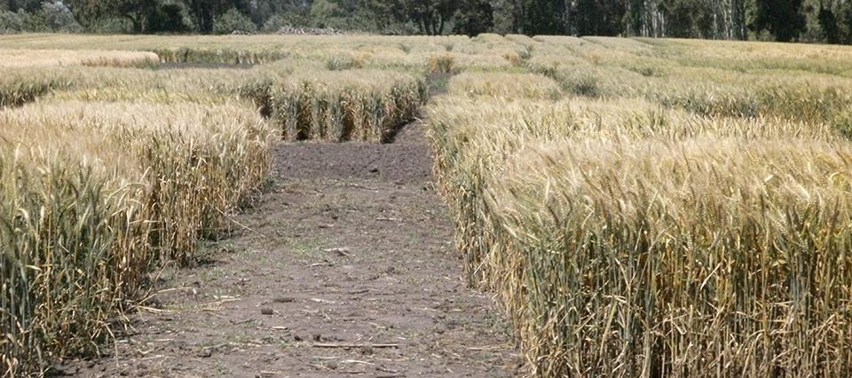 trigo variedades 960