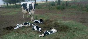 vaca 5 terneros