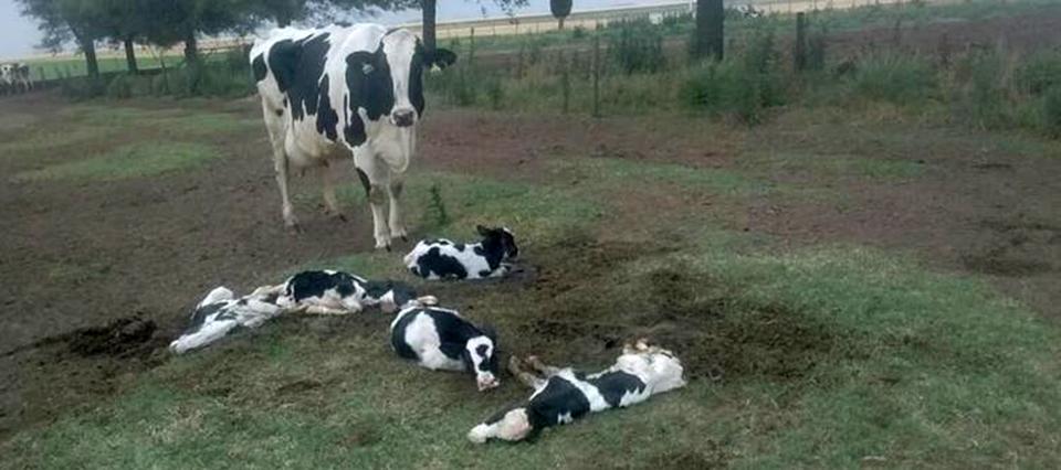 Sorprendente: una vaca parió 5 terneros en Córdoba