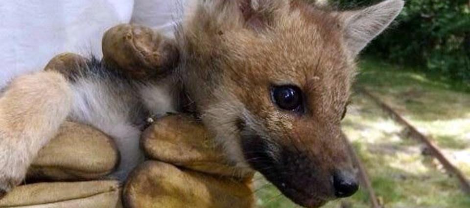 Rescataron a un zorro y lo trasladarán a la Estación de Cría de Animales Silvestres