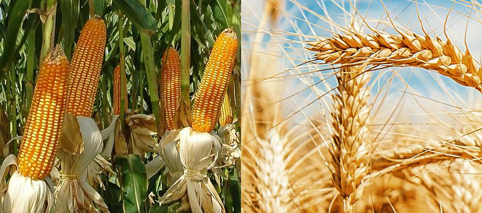 Científicos del INTA y del CONICET lograron secuenciar el genoma de un virus de maíz y trigo
