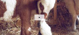 vaca gato 9600