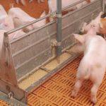Lechones-y-cerdos-jovenes-consumiendo-alimento-rico-en-nutricion-en-Razas-Porcinas
