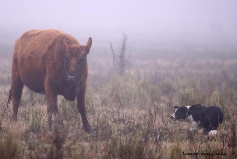 Se observa como el perro presiona , a la distancia correcta, al vacuno que se separó del resto para que se una al grupo