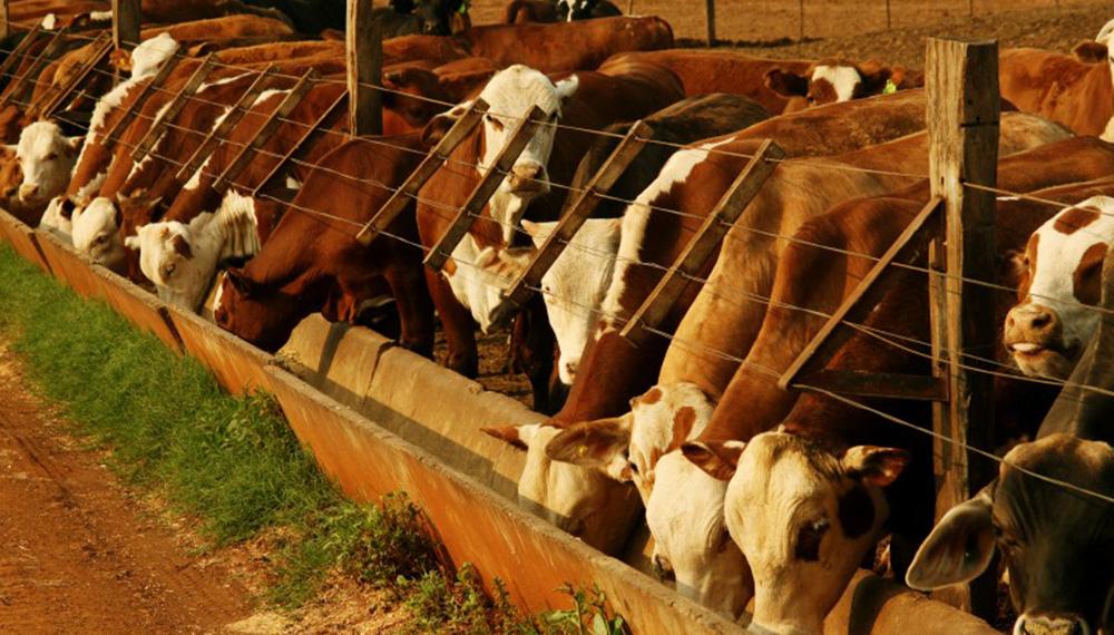 Estrés térmico: cómo reducir el estrés térmico en el manejo de hacienda en corrales