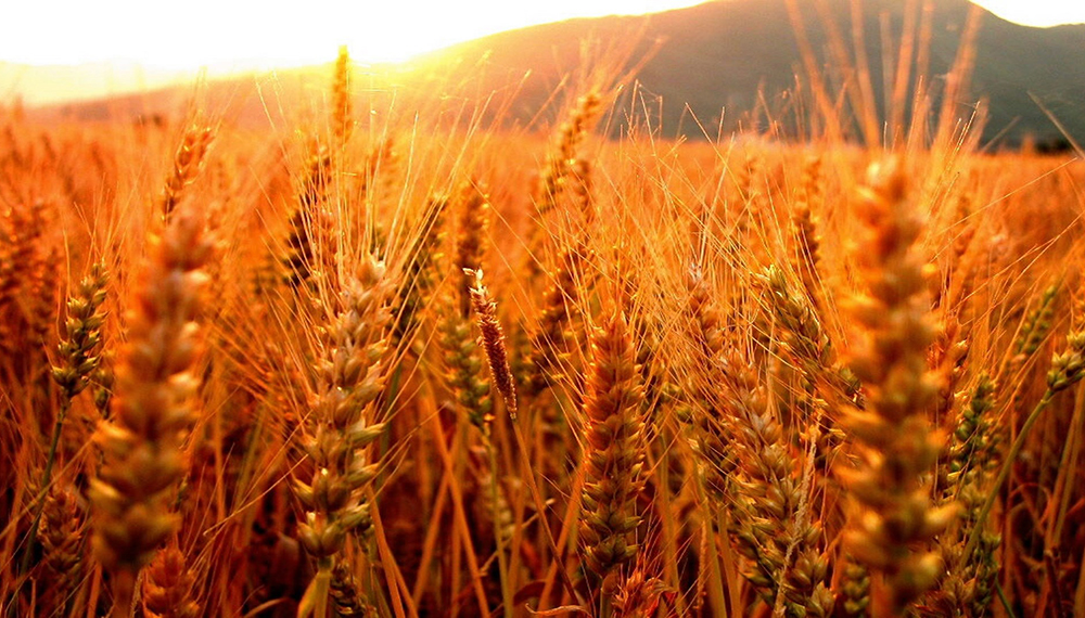 infocampo trenque lauquen y rojas serán sede de la semana del trigo