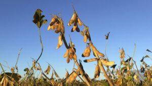 trigo raigras summit agro