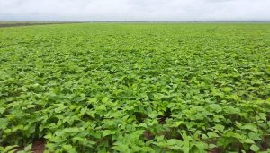 campo soja seca