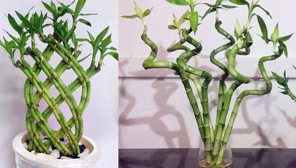Cómo Propagar El Bambú De La Suerte La Planta Más Elegida Para Decorar Interiores Infocampo