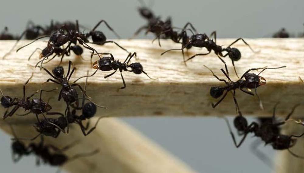 Control de Hormigas Profesional