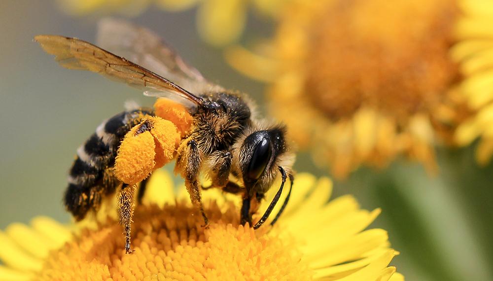 Primavera y polinización: el importante rol de las abejas en esta época del  año   Infocampo