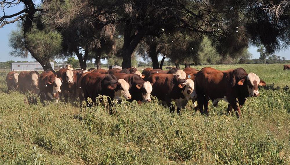 Aseguran que el control de sanidad en toros evita pérdidas de hasta un 30%
