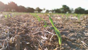 Maíz creciendo sobre un rastrojo de cultivos de servicios coasociados