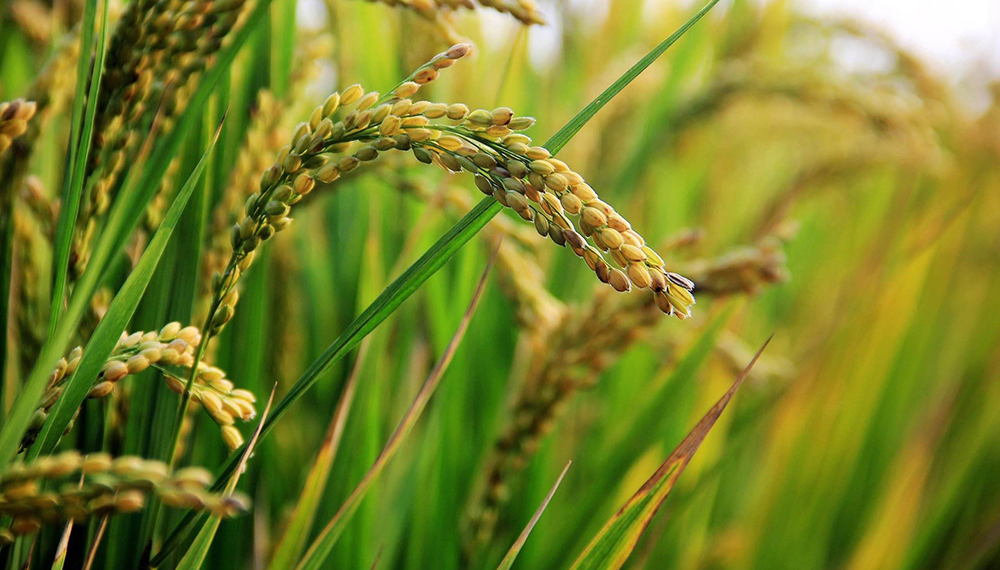 arroz infocampo