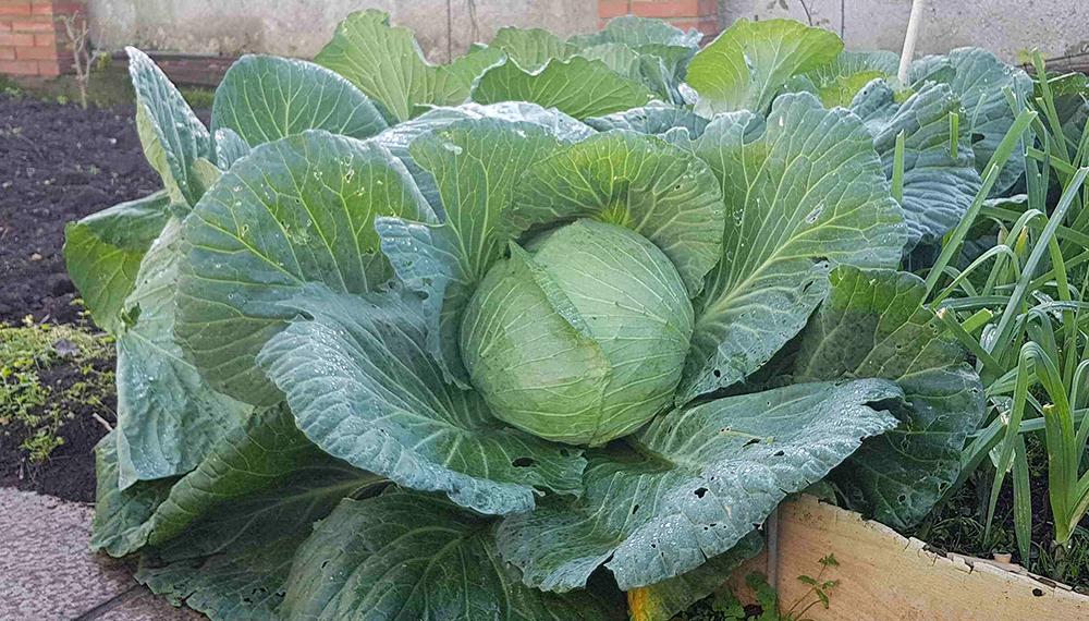 Alumnos cosecharon un repollo gigante en una escuela agraria de Pergamino - Infocampo