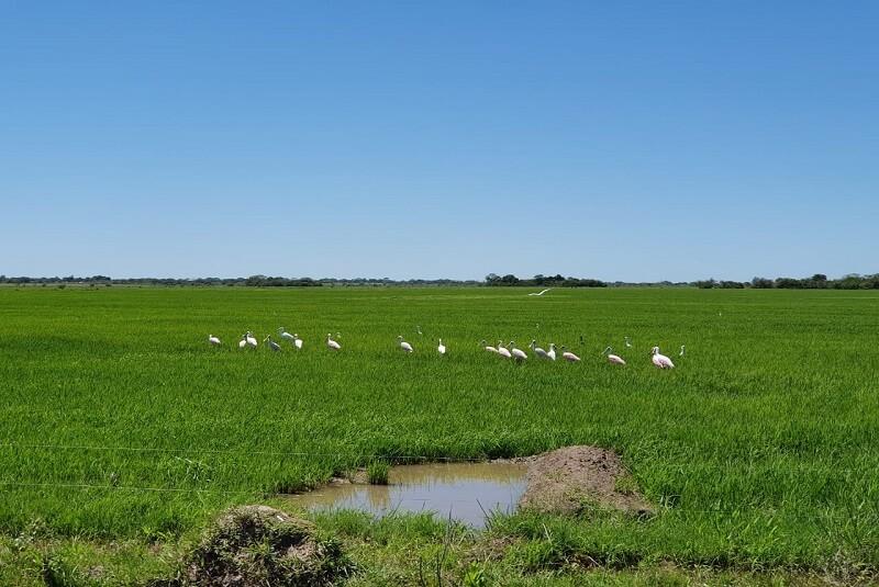 campo de arroz en Corrientes