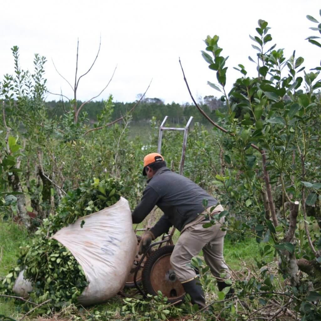 hombre cosechando yerba mate