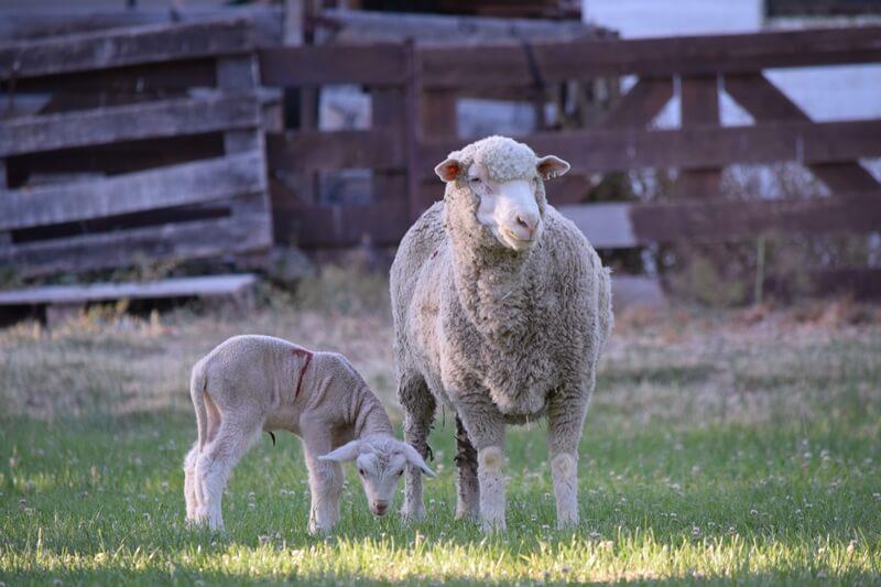 nacimiento corderos chubut